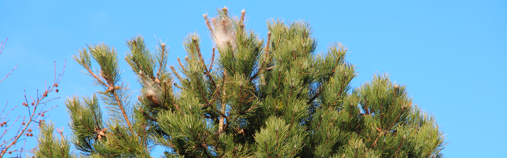 Inscrivez-vous pour la lutte collective chenille processionnaire du pin en Vendée