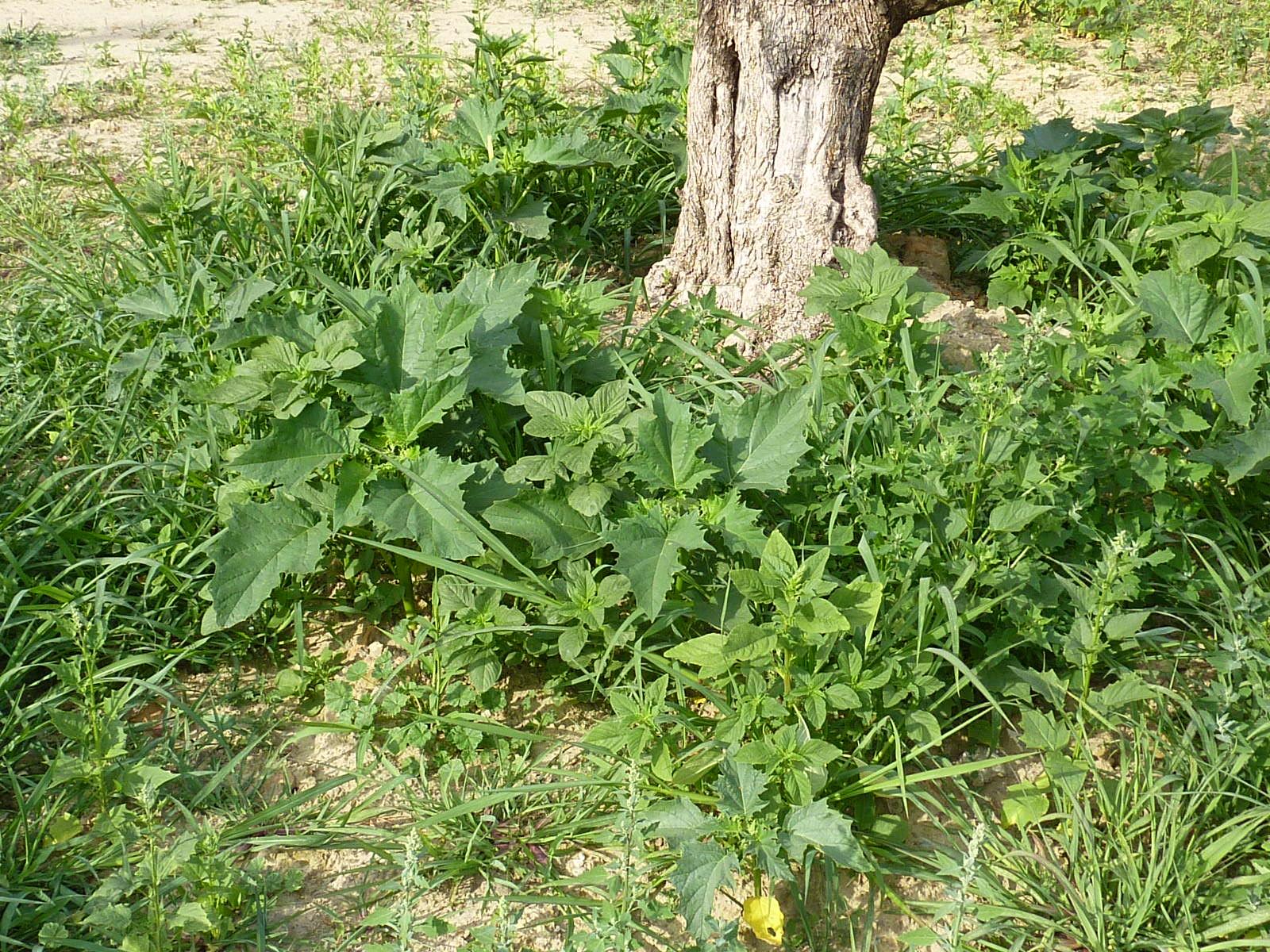 Gérer le Datura stramoine dans les jardins et les espaces végétalisés