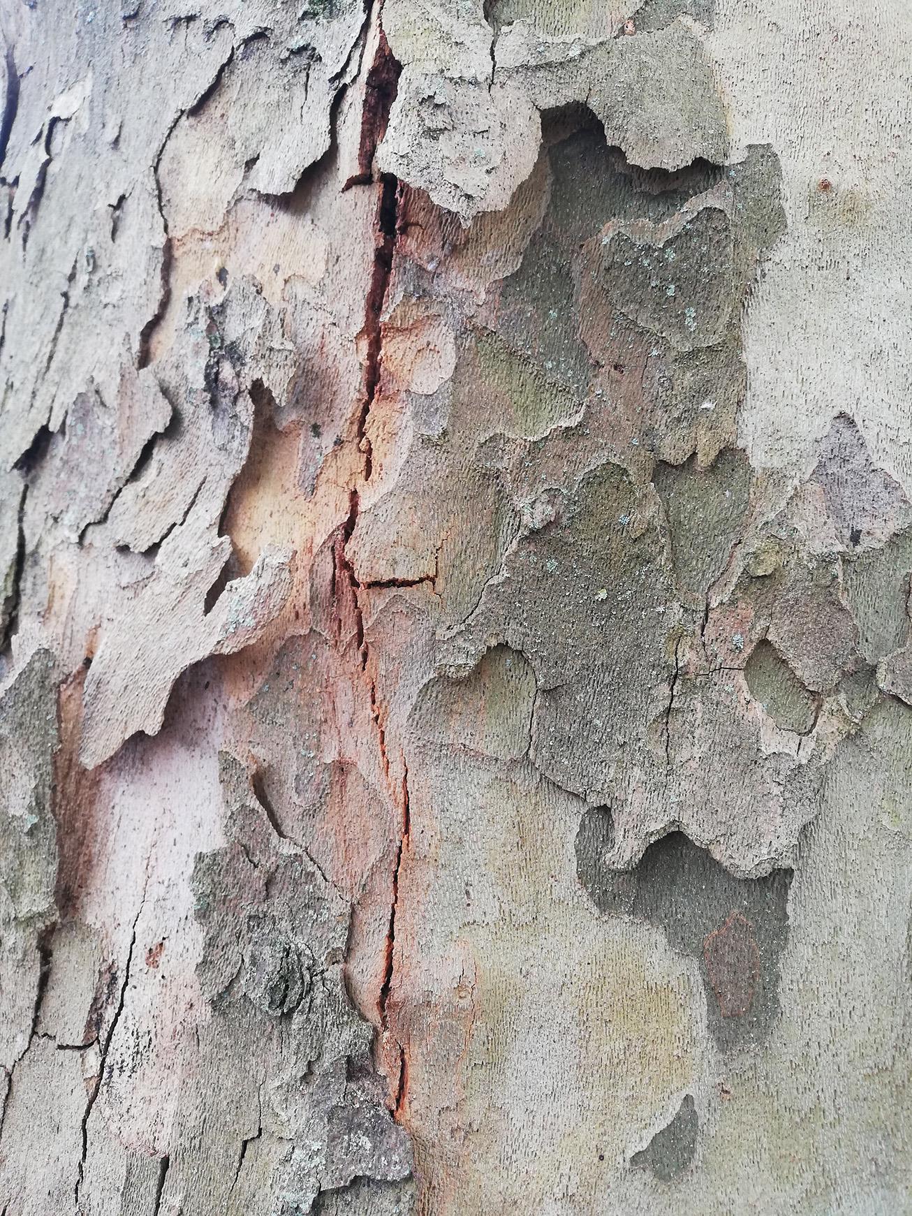 Chancre coloré du platane (Ceratocystis platani)