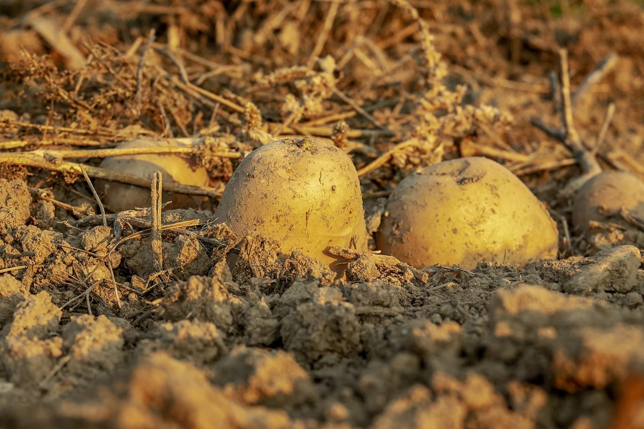 Produire des plants fermiers de pomme de terre