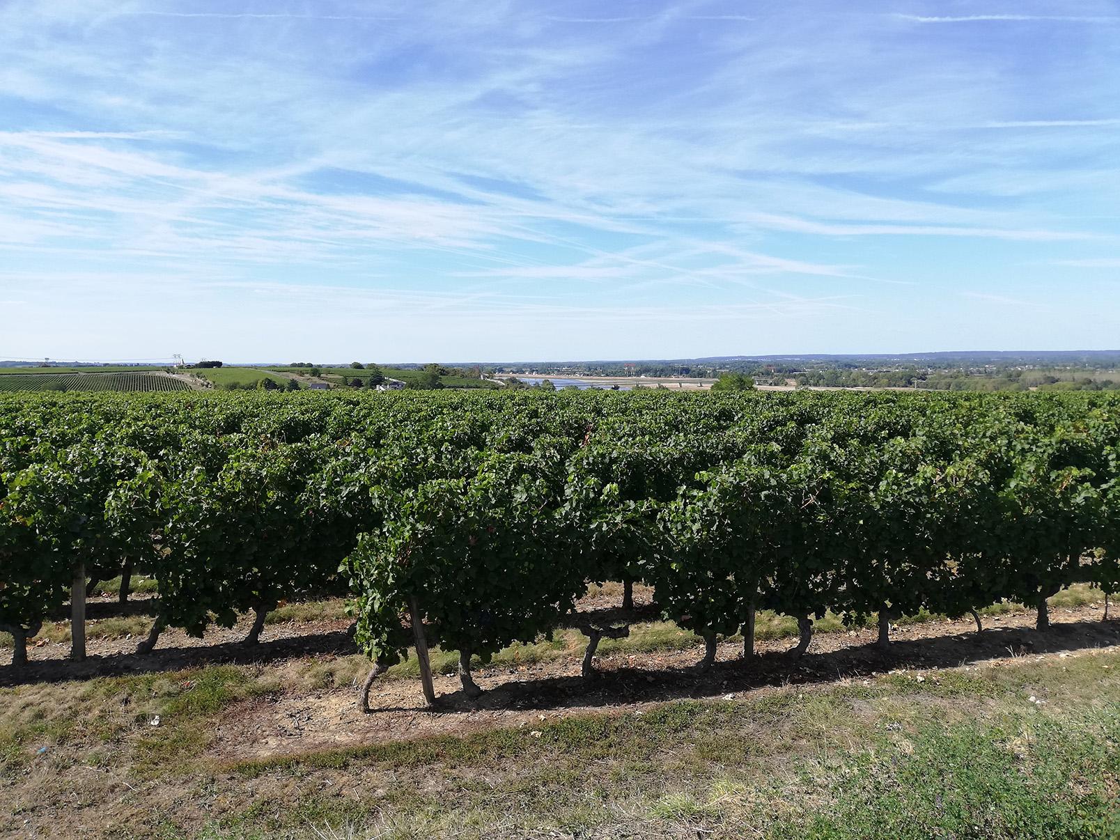 Protection des vignobles et vignes-mères en Pays de la Loire