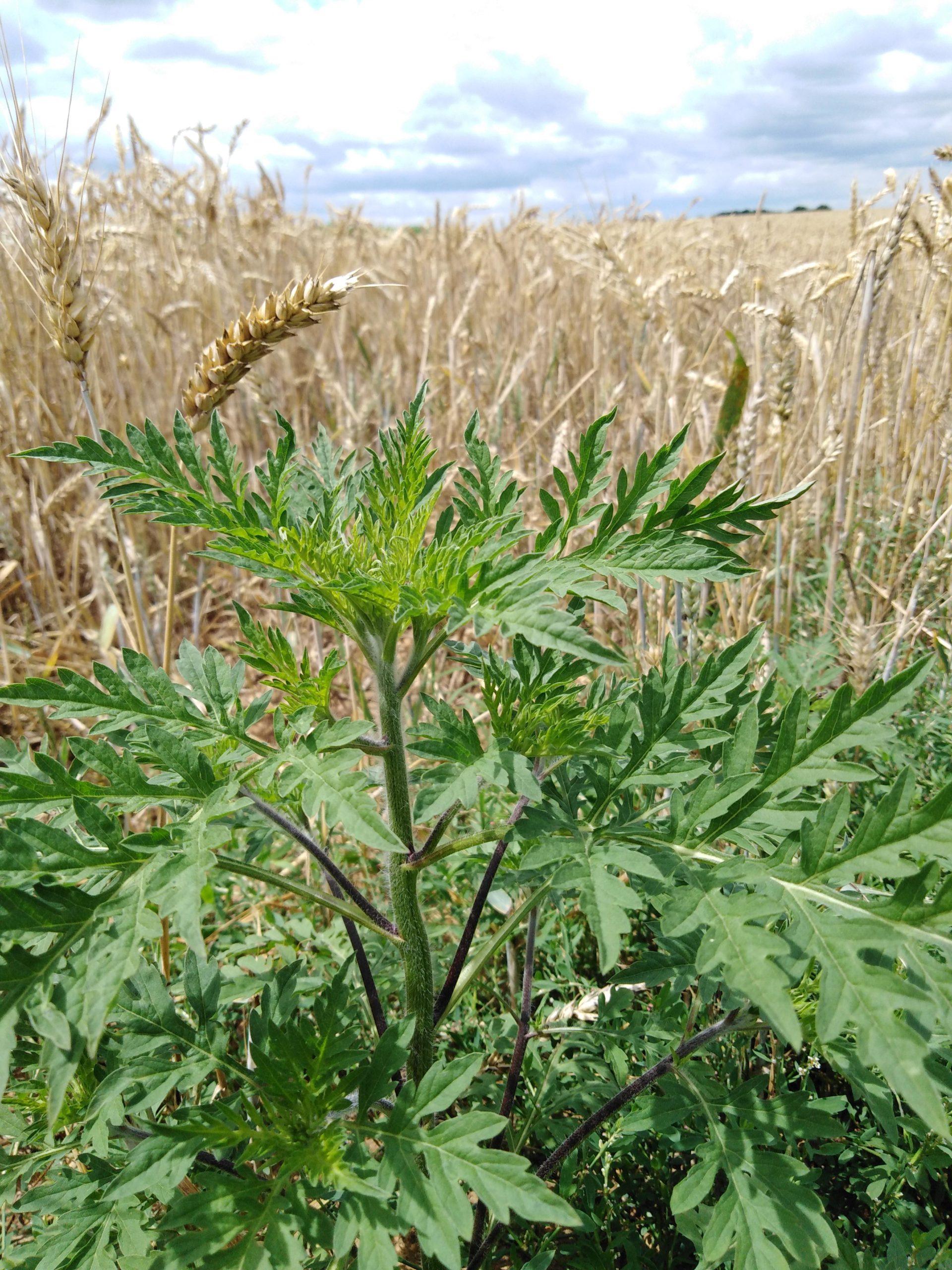 Espèces invasives et santé publique : le cas de l'Ambroisie à feuilles d'armoise et de la Berce du Caucase en Pays de la Loire
