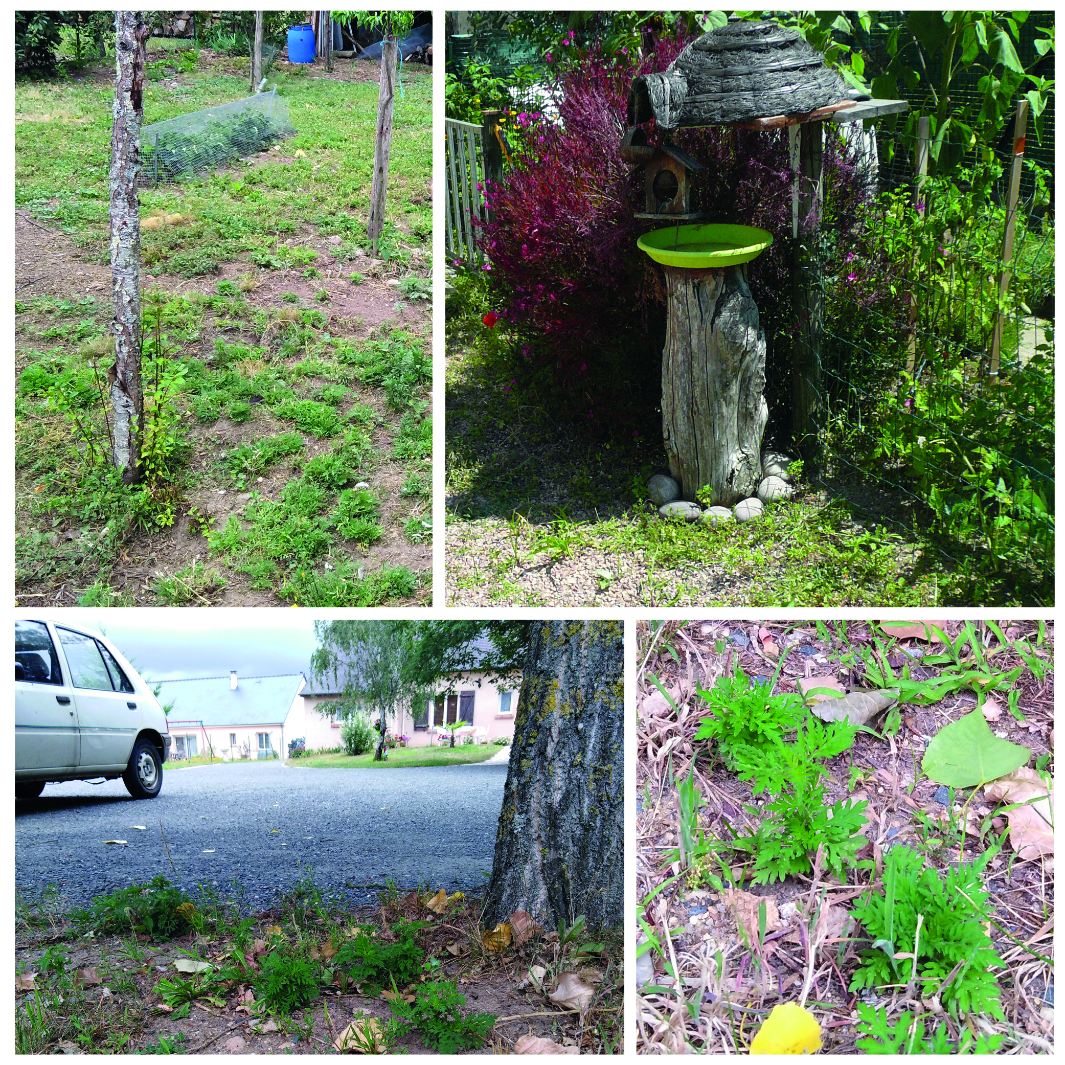 L'Ambroisie à feuilles d'armoise : sensibilisation des particuliers