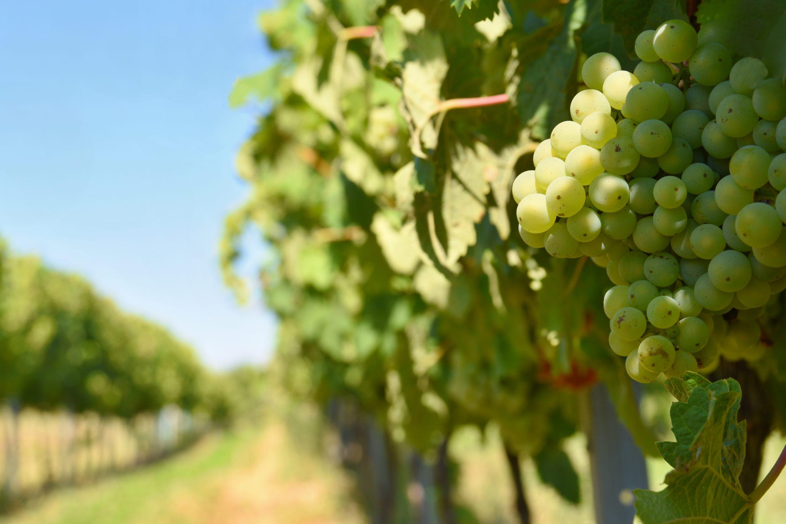 Santé du végétal : Organisation de la surveillance des vignobles vis-à-vis de la Flavescence dorée